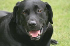 perro-labrador-