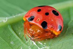 Ladybug Mimic Spider... Trickery ! Not nice !