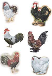 Breeds-Chicken