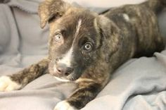 Snoopy is an adoptable Australian Shepherd Dog in Newark, DE. *If you are viewing this, the puppy is still available!* We have an adorable 10 week old Lab/Australian Shepherd mix puppy. She was rescue...