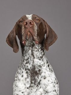 German shorthaired pointer. Photograph by Robert Clark