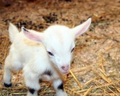 SO adorable! This is a baby Nigerian Dwarf Goat, they are the smallest breed.