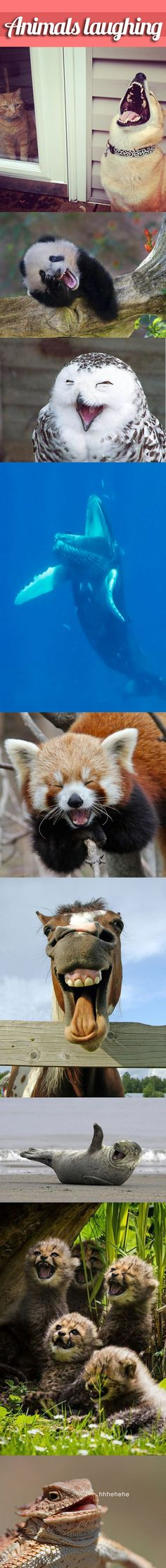 Animals laughing… funny animals, hors, lizard, cat, red pandas, happy animals, seal, whale, anim laugh