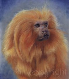 """""""Watching"""" limited edition fine art print of a Golden Lion Tamarin from an original pastel painting by BBC Wildlife Artist of the Year £55"""