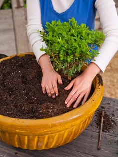 "Best plants for miniature gardens via HGTV.com - Dwarf Boxwood ""trees"""