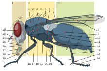 House Fly Diagram