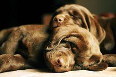 Sleeping Chocolate Lab puppies