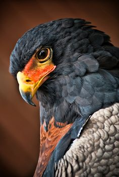 Falcon - Awesome Close-Up !