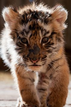 Tiger ~ By Rybki http://sulia.com/my_thoughts/4f03c792-3353-49f4-99d1-06838cdf2bc0/?pinner=119686333
