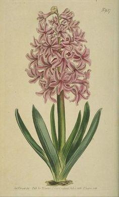 """Garden Hyacinth"""