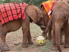 Cute baby elephants play football with keepers in orphanage..VIDEO... WITH their back-heel tricks and ability to slow a game down in an instant, these footballing 'Pele-phants' are in love with the beautiful game...