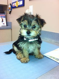 What a pretty puppy ..., Hazel is her name & she's a Morky .... Maltese & Yorkie mix.