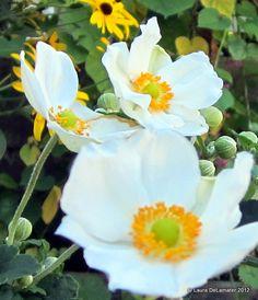 Japanese Anemone - 'Andrea Atkinson'