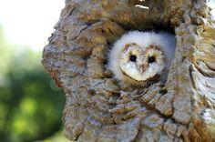 White #owl