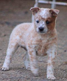 Queensland Heeler Puppies for Sale
