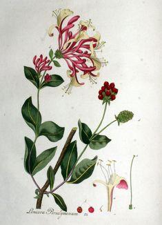 Lonicera periclymenum (Madreselva)
