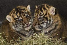 San Diego Zoo - Baby Tiger Cubs!
