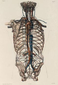 Human thorax and pectoral girdle with isolated arteries and veins  The abdominal (or thoracic) aorta and the inferior vena cava are the major artery and vein, respectively, that follow the spine down to the pelvis.   Traité complet de l'anatomie de l'homme comprenant la medecine operatoire, par le docteur Marc Jean Bourgery. Illustrated by Nicolas Henri Jacob, 1831.
