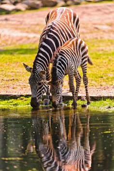 ☀Mother and foal zebras drinking by Tambako the Jaguar