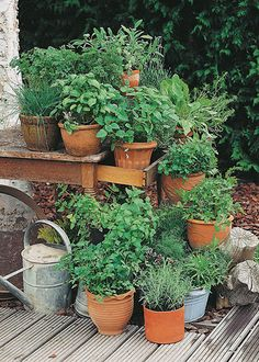 Cilantro and many other herbs can take the chilly temperatures of fall, so plant your favorites now. They're easy to grow, and easy to harvest and preserve, so you can add their flavors to meals for months to come.