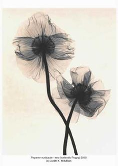 X-Ray Art by Judith K McMillan. Papaver nudicaule - two (Icelandic Poppy) 2000 reduced.  What a lovely tattoo this would make.