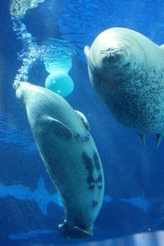 seal, detroit zoo