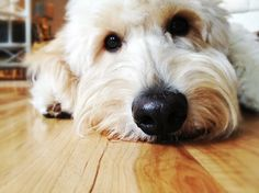 Jack the Goldendoodle #goldendoodle