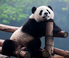 Google Image Result for http://at-web.org/holiday-travel-online/photos/photo-travel-China--giant-panda-pics-hh_dp17117324.jpg
