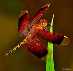 Dragonfly ~ Natural Patterns (by ariflickrs)