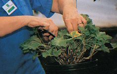 Overwintering plants such as geraniums and impatiens to save money on annuals