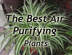 the best air purifying plants.English ivy .Spider plant , Golden pothos, Peace lily,Chinese evergreen ,Bamboo palm or reed palm,Snake plant,Heartleaf philodendron ,Selloum philodendron,Elephant ear philodendron, Red-edged dracaena ,Cornstalk dracaena, Janet Craig dracaena , Warneck dracaena, Weeping fig, Gerbera daisy , Pot mum , Rubber plant.