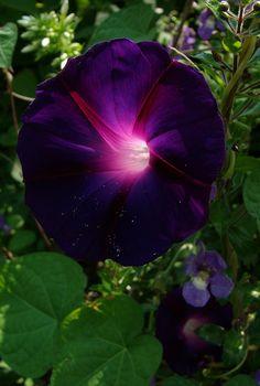 grandpa ott's morning glory on Flickr. Ipomoea purpurea  beautiful!  It looks like a bunch of stars ...