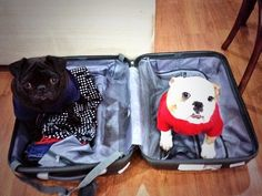 Pug and sibling in a suitcase - You're Not Going Anywhere Without Us!