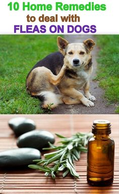 10 Home Remedies for Dealing with Fleas on Dogs