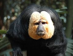 White-faced saki monkey-New World monkeys of the genus Pithecia.They are closely related to the bearded sakis of genus Chiropotes. Sakis' range includes northern and central South America, extending from the south of Colombia, over Peru, in northern Bolivia. and into the central part of Brazil. Sakis are small-sized monkeys with long, bushy tails. Sakis are diurnal animals. They live in the trees of the rain forests and only occasionally go onto the land.