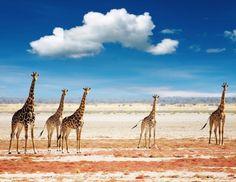 Giraffes / Serengeti, Africa