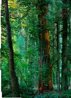 A 300-foot, 1,500 years old titan in California's Redwoods State Park, composed of 84 images by Michael Nichols