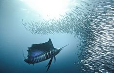 underwater photos, ball, school, fish, south africa, underwater photography, sea, animal, sword