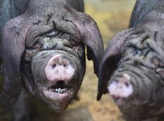 Two Meishan pigs stand in their enclosure in the zoo Tierpark in Berlin, Germany on June 28.