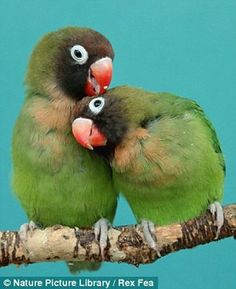 Two Lovebirds Cuddle Up