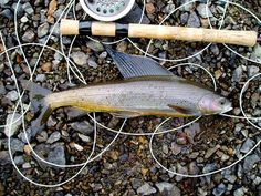 Alaska Grayling.JPG by fishwithjd, via Flickr fli fish, bucket list, alaska graylingjpg, grayl photo, fish bucket