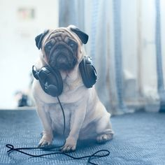 My heart!!! two great things-awesome headphones with great music and PUGS