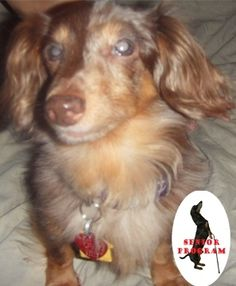 Daphne NY. Long hair dachshund available for adoption with Furever Dachshund Rescue.