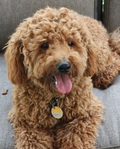This is the dog that I want to get the boys.  It's a goldendoodle and is hypoallergenic (no shedding) and has the personality of a loving golden!