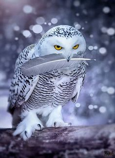 Owl  His Prize Feather