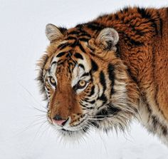 Siberian Tiger - winter by Anita Erdmann