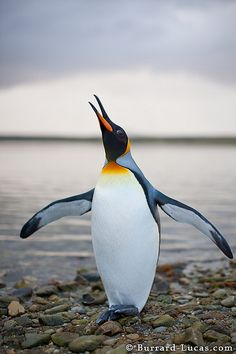 King Penguin.