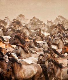 Wild horses stampede