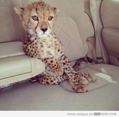 like a boss, animals, cat, cheetahs, car rides