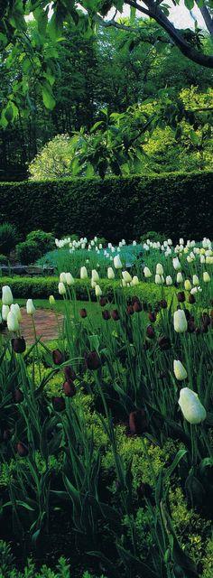 """""""Queen of the Night"""" and """"Maureen"""" hybrid tulips in clipped parterres in Oscar de la Renta's garden…"""